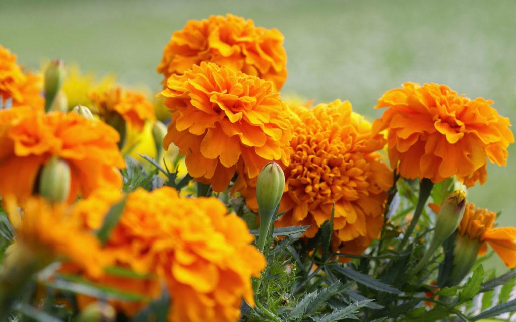 kadife çiçeği bakımı