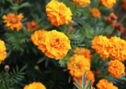 kadife çiçeği marigold