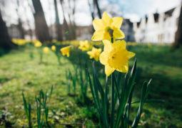 nergis-çiçeği-bakımı