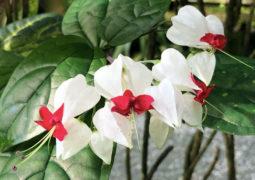 Kızılay çiçeği bakımı