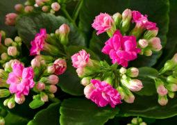 kalanşo çiçeği bakımı Kalanchoe