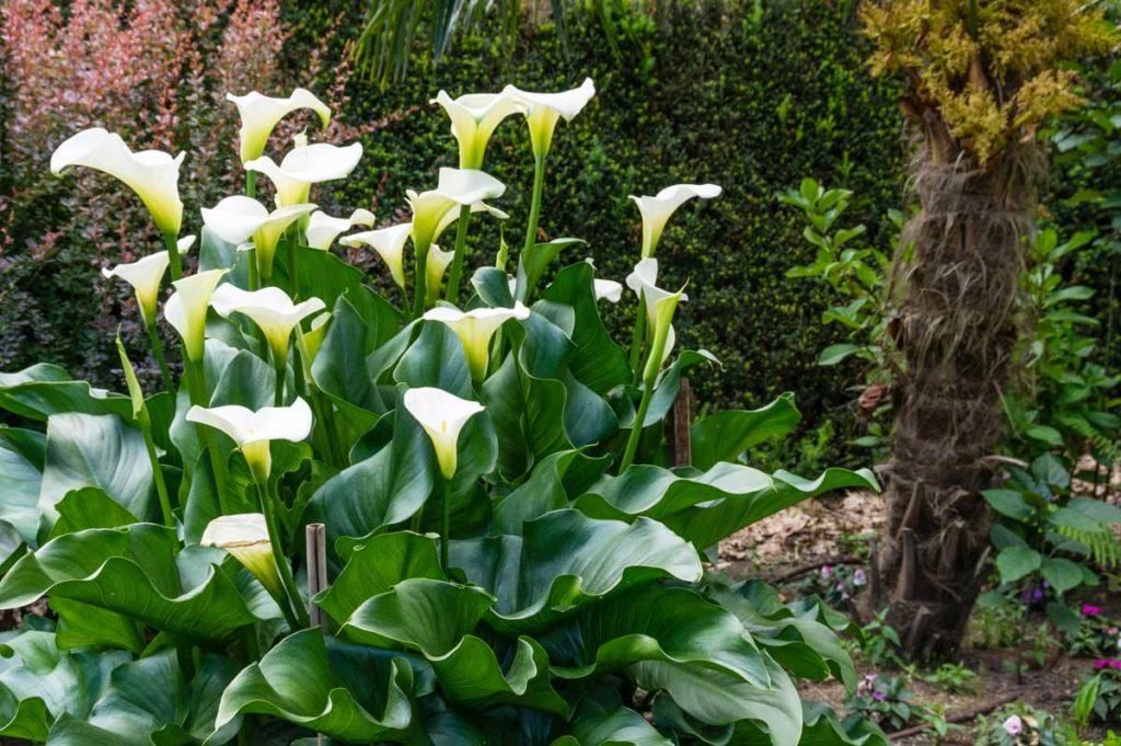 Gala çiçeği bakımı, gelin çiçeği, calla lily