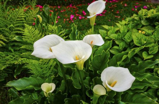 gala-çiçeği bakımı, gelin çiçeği, calla lily
