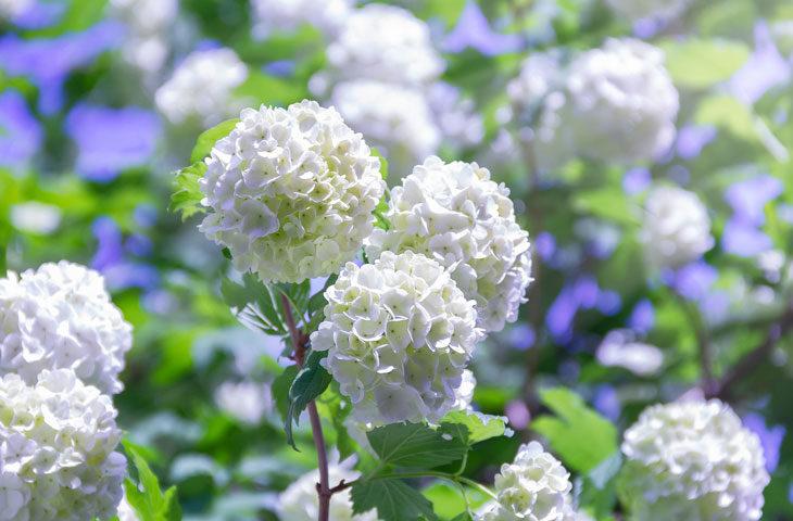 kartopu-çiçeği-bakımı