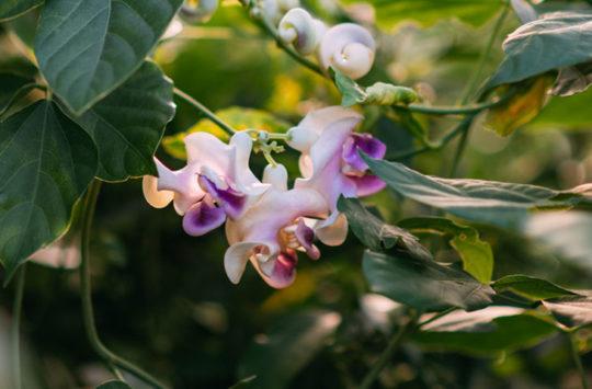 selluka-çiçeği-bakımı