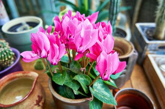 siklamen-çiçeği-bakımı