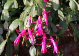 yılbaşı-çiçeği-bakımı