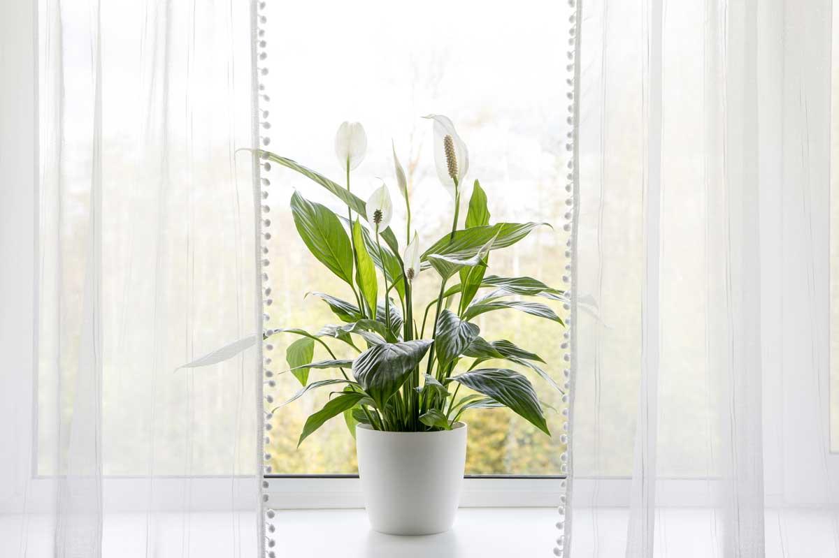barış-çiçeği-bakımı Spathiphyllum