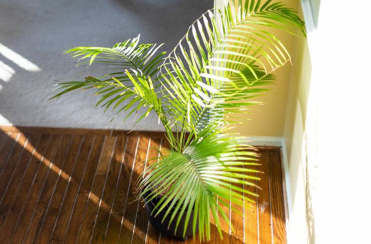 areka-palmiyesi-bakımı